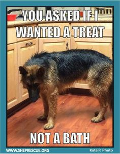 Wicked Training Your German Shepherd Dog Ideas. Mind Blowing Training Your German Shepherd Dog Ideas. Funny Animal Jokes, Funny Dog Memes, Cute Funny Animals, Funny Animal Pictures, Funny Dogs, Cute Dogs, Dog Funnies, German Shepherd Memes, German Shepherd Puppies