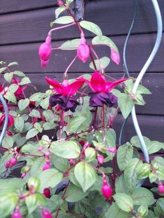 Fuschia Blacky Added by Karen (My other hobby is sewing! Window Box Plants, Window Boxes, Fuchsia Plant, Very Lovely, Hanging Baskets, Garden Plants, Gardening Tips, Beautiful Flowers, Herbs