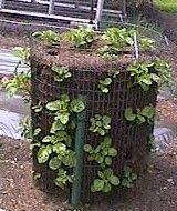 Growing Potatoes vertically