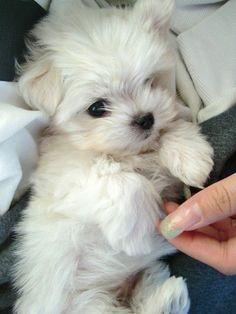 Maltese puppy...sooooo sweet.