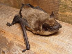 Serotine Bat (Eptesicus serotinus) Taken by @werenolf (Original at: https://commons.wikimedia.org/wiki/File:Eptesicus_serotinus.jpg…)