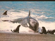 Killer whales snatch seals from the shore. Only place in the world you can see this.
