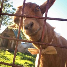 Attended a wedding today. They had fancy goats. - Imgur