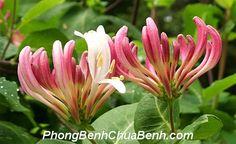 Kim ngân hoa là một trong những vị thuốc nam chữa chàm hiệu quả