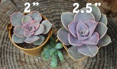 10 Cuttings Per Order - Choose From our various types of Succulent Cuttings. Types of: Crassula Mini Pine Tree Tetragona Succulent CuttingsCrassula perforata Succulent Wedding Centerpieces, Succulent Favors, Succulent Cuttings, Succulent Bouquet, Succulent Care, Succulent Plants, Wholesale Succulents, Succulents For Sale, Types Of Succulents
