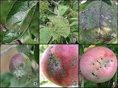Bolile marului: viroze, micoze, bacterioze, antofitoze Pear, Apple, Plants, Gardening, Agriculture, Life, Apple Fruit, Lawn And Garden, Plant