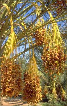 Dates. They taste spectacular. White sugar can never replicate this sweetness that comes naturally from dates. Date palms near the Negev Desert, Israel.