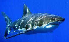 Shark.