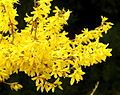 """""""Forsythias are popular early spring flowering shrubs in gardens & parks.[..] They are grown & prized for being tough, reliable garden plants.[..] Forsythia is frequently forced indoors in the early spring."""""""
