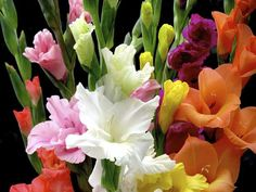 How to grow gladiolus flowers; tips for growing gladiolus - Gladioli, Glowing Flowers, Gladiolus Flower, Elegant Flowers, Spring Has Sprung, Home And Garden, Rose, Gardening, Tips