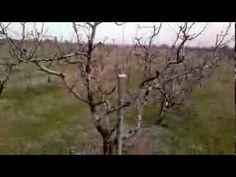 Κλάδεμα ενήλικου δένδρου αχλαδιάς (σύστημα διαμόρφωσης: ελεύθερο κύπελλο) - YouTube