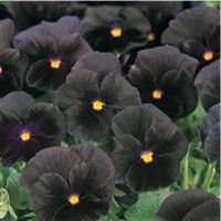 Halloween Pansy would be so cute planted in pumpkins