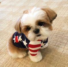Cute for july shih tzu puppy, shih tzus, cute pupies, cute goats,