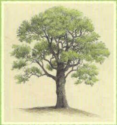 I want to get a tattoo of a tree. kinda like this, but different shape Poplar Tree, Beech Tree, Roasted Chestnuts, Open Fires, Watercolor Drawing, Watercolor Techniques, Get A Tattoo, Leg Tattoos, Botany