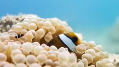 Western Clown Anemonefish (Amphiprion ocellaris) - Clownfish hatch near the surface and travel deeper to search for a host anemone when they reach their juvenile stage. Within a clownfish community there is a strict hierarchy where juveniles begin at the bottom and have to gradually move upwards by proving their abilities to the rest of the population. During this time they may be victims to agression, and possibly eviction from the anemone by more mature clownfish.