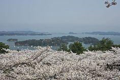 松島の桜 西行戻しの松公園