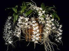 Aerangis stylosa 'Star Burst