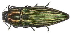 Pelecopselaphus depressus Bugs And Insects, Beetles, Jewels, Schmidt, Spiders, Grande, Animals, Dios, Animales