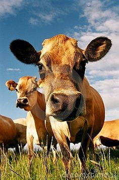 Dairy cow face by Jomann, via Dreamstime