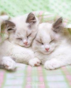 rachael hale guiness cat framed | Sleepycats