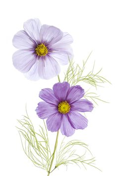 Cosmos by Mandy Disher - Photo 127242773 - Flower Art Drawing, Flower Sketches, Watercolor Flowers, Watercolor Paintings, Wildflower Drawing, Cosmos Flowers, Botanical Art, Botanical Drawings, Art And Illustration