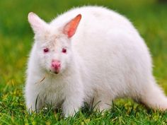 White-Kangaroo - cool, beautiful, white, kangaroo, picture