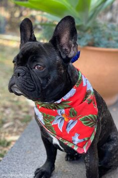 'Miss Willow' modelling a 'Red Magnum' pet bandana. We have them in a range of colours to match our Hawaiian clothing for men, women & children. #frenchie #frenchbulldog #bandana #dogbandana #frenchiebandana #hawaiianprints #hawaiianbandana #islandstyleclothing #dogs #dogs #pets #dogbandanas #dog-bandanas