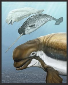 Smithsonian Scientists Describe a 'New' Fossil Whale | Ocean Portal | A reconstruction of a new fossil beluga relative, Bohaskaia monodontoides, described by Smithsonian scientists, is pictured in the foreground. Its living relatives, the beluga and narwhal, are illustrated left to right in the background. Coloration of the extinct whale is speculative.