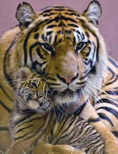 Baby Tiger and mom Big Cats, Cool Cats, Cats And Kittens, Cute Baby Animals, Animals And Pets, Funny Animals, Kids Animals, Tiger Pictures, Animal Pictures