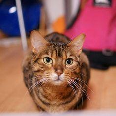 おはラミ 新しいレンズ✨ 単焦点35㎜ f1.8 きたー 明るいレンズは良いねー #ねこら部 #ねこ部 #ねこ #猫#cat#ベンガル#一眼レフ#デジイチ #ガンレフ #単焦点mikke.rami2016/03/12 09:15:00