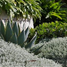Santolina chamaecyparissus highlighting the sculptured form of Agave Blue Glow in this layered garden. Garden Design & Install Plants supplied by Photography Corporate Partner & memeber Small Courtyard Gardens, Back Gardens, Plant Design, Garden Design, Agave Blue Glow, Australian Native Garden, Drought Tolerant Garden, Coastal Gardens, Blue Leaves