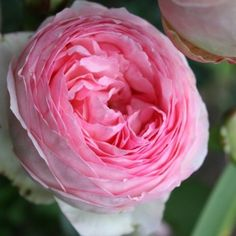 Купить саженцы роз в интернет магазине почтой