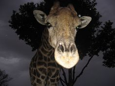 Bumped into this friendly giraffe in the Pilanesberg. It was just getting dark and she just walked up to the game vehicle and started licking the inside of the roof. Not sure what tasted so good. Game Reserve, Day Trips, Perfect Place, South Africa, Giraffe, Vehicle, Wildlife, African, Park