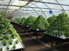 Hydroponic gardening or hydroponics is the science of growing plants using only nutrient-rich liquid as a soil replacement. Learn about hydroponics here. Aquaponics System, Aquaponics Greenhouse, Aquaponics Fish, Hydroponic Gardening, Organic Gardening, Gardening Tips, Hydroponic Growing, Greenhouse Ideas, Portable Greenhouse