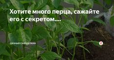 Привет, друзья! Чтобы вырастить хороший, здоровый перец, и чтобы его было много, я при посадке перца в лунку кладу секретный элемент....Итак, все по порядку... Перед посадкой перца, я выкапываю лунку. Первое, что я делаю, это просыпаю лунку горстью диатомида садового, это раскислитель почвы. Перец никогда не будет приносить хороший урожай и не будет расти в кислой почве. Посыпать и смешать с земле