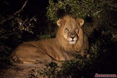 Then as we were driving around at night, our guide Mike put the car into reverse because he saw something in the bushes. We go back, flash the spotlight and BAM, there's a 5 year old male lion looking right at us!