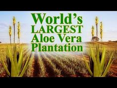 World's Largest Aloe Vera Plantation Owned by Forever Living Products. Witness the journey of Forever Living Products' Aloe Vera from Plants to Products To You.