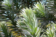 Leucadendron argentea