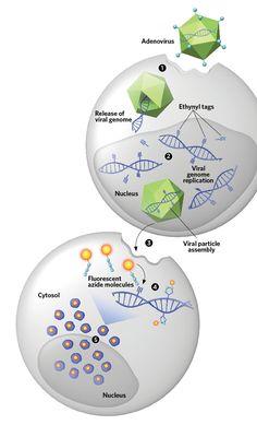 Visualizing Viruses—Scientists devise a gentler technique for observing viral DNA at single-molecule resolution