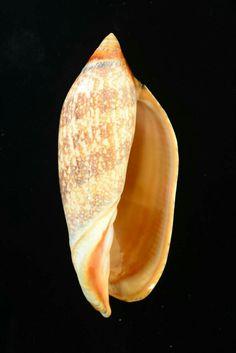 達摩渦螺  Damon's Volute Amoria damoni 澳洲