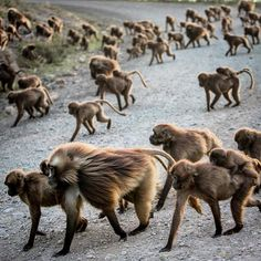 Photo by @tbfrost |  Another update from the field while on assignment with @jtkerby for @natgeo . The Guassa plateau in the central highlands of Ethiopia covers an area of about 110 square kilometers  making it one of the largest intact Afro-alpine ecosystems in Africa. Here a herd of gelada monkeys cross the road that bisects the plateau on their late afternoon trek to the cliffs where they will spend the night.  I'm @tbfrost if you want to go behind the scenes on this nat geo expedition…