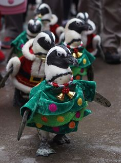 Penguins dressed in Santa and Christmas tree costumes are paraded at Everland, South Korea's largest amusement park on Wednesday in Yongin.  Video chat about it at https://createamixer.com/