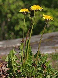 Voikukat, Taraxacum - Kukkakasvit - LuontoPortti