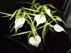 Brassavola Little Stars