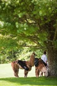 Image result for llama caddying All Gods Creatures, Horses, Activities, Animals, Image, Animaux, Horse, Animal, Animales