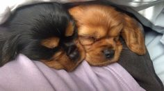 Black and Tan and a Ruby Cavalier King Charles Spaniel puppies