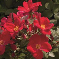 'Home Run' ® Rose: Height: 3-4', blooms spring(in Texas) to Fall