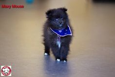 Maxy Mouse the Pomerania Gender:Male Age:Date of birth. Jan 15, 2015 Size:Miniature Weight:5 lbs Breed:Pomeranian With Dogs:Yes With Cats:Yes With Children:Over 12 years old  To be considered for adoption you must fill out an application, be approved and be able meet the dog in person We are located in the MTL, Canada regio Foster Family, Pomeranian, Pet Adoption, Dog Food Recipes, Birth, Fill, Miniature, Gender, Canada
