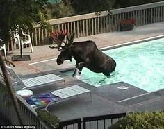 'Do we have moose insurance?' Shocked group film wild animal swimming in the pool of their holiday villa - Holidays Events Animals And Pets, Baby Animals, Funny Animals, Cute Animals, Moose Deer, Bull Moose, Moose Pictures, Funny Animal Pictures, Beautiful Creatures
