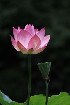 Pin by mirei on hasulotus poems pinterest lotus flower seeds lotus flower mightylinksfo
